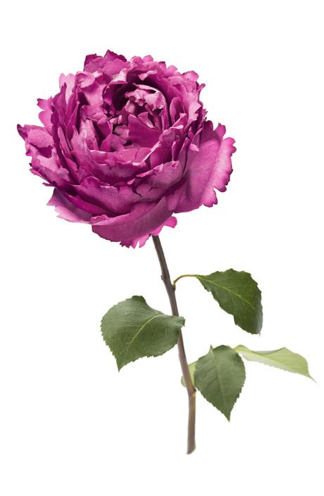 Дом Piaget отмечает День Розы