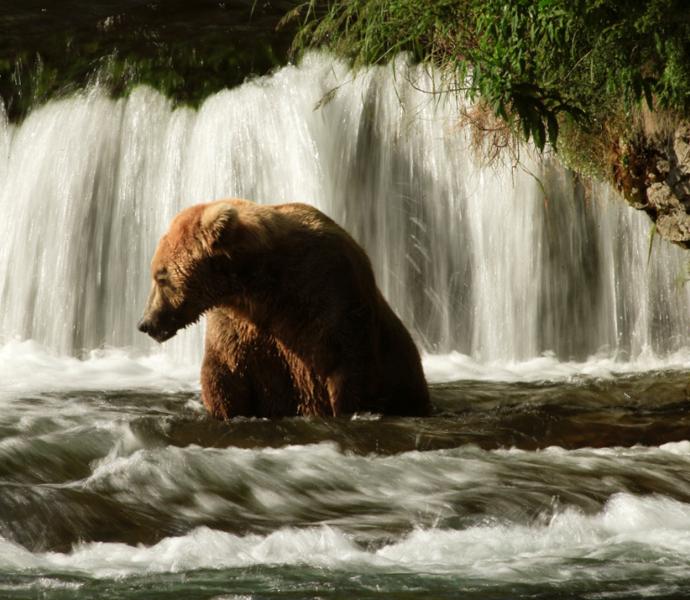 Аляска: изучение жизни бурых медведей