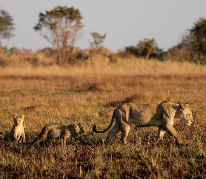 Замбия: выслеживание диких кошек