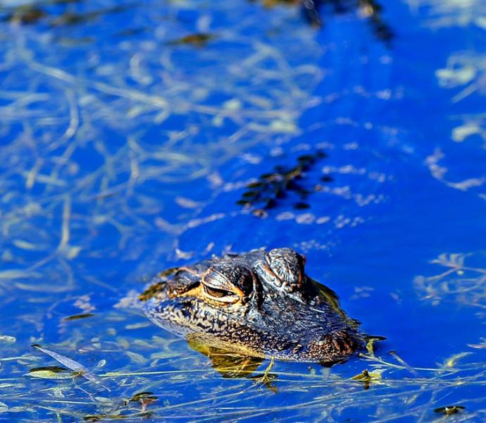 США, Флорида: знакомство с аллигаторами