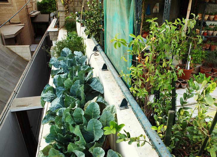 Что сажать на балконе: советы профессионала (фото 8)