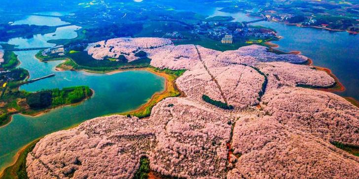 Цветение вишни в Китае: уникальные кадры (фото 0)