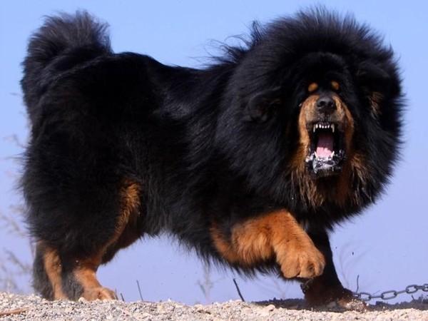 Тибетский мастиф, $2 млн за щенка