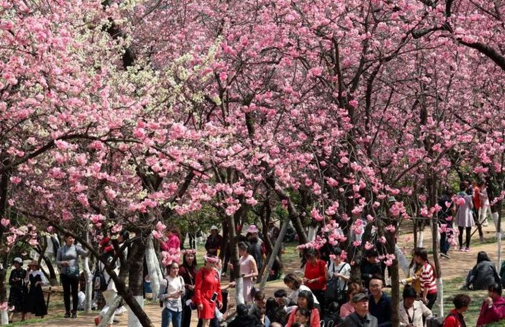 Цветение вишни в Китае: уникальные кадры (фото 4)