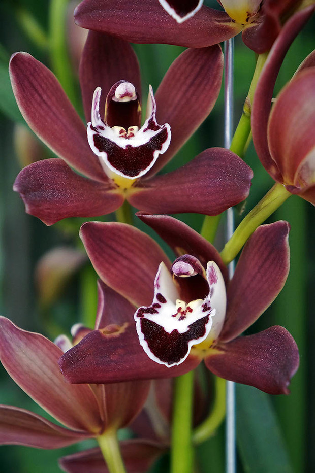 «Шоколадная» орхидея фаленопсис