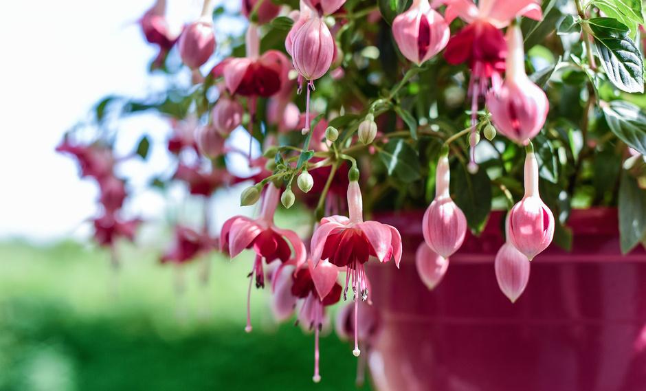5 лучших растений для выращивания на балконе (фото 13)