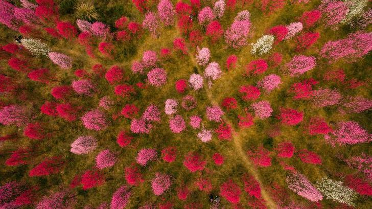 Цветение вишни в Китае: уникальные кадры  #Inspiration (фото 7)