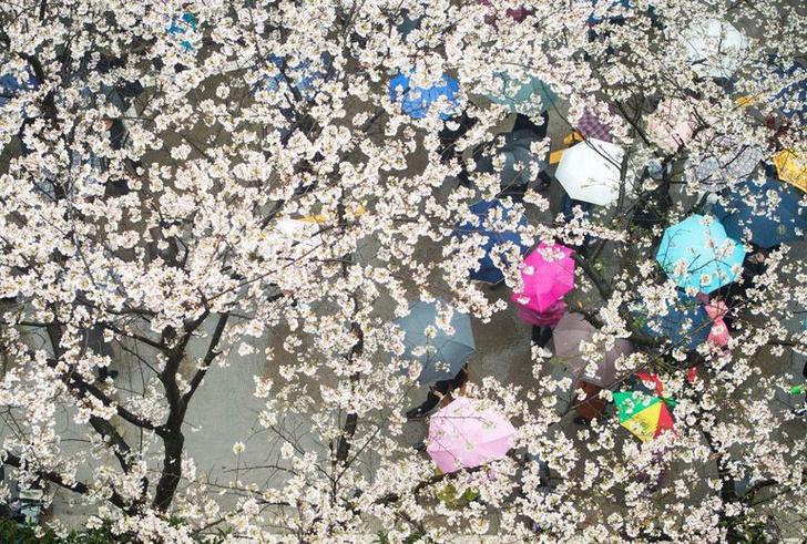 Цветение вишни в Китае: уникальные кадры (фото 3)
