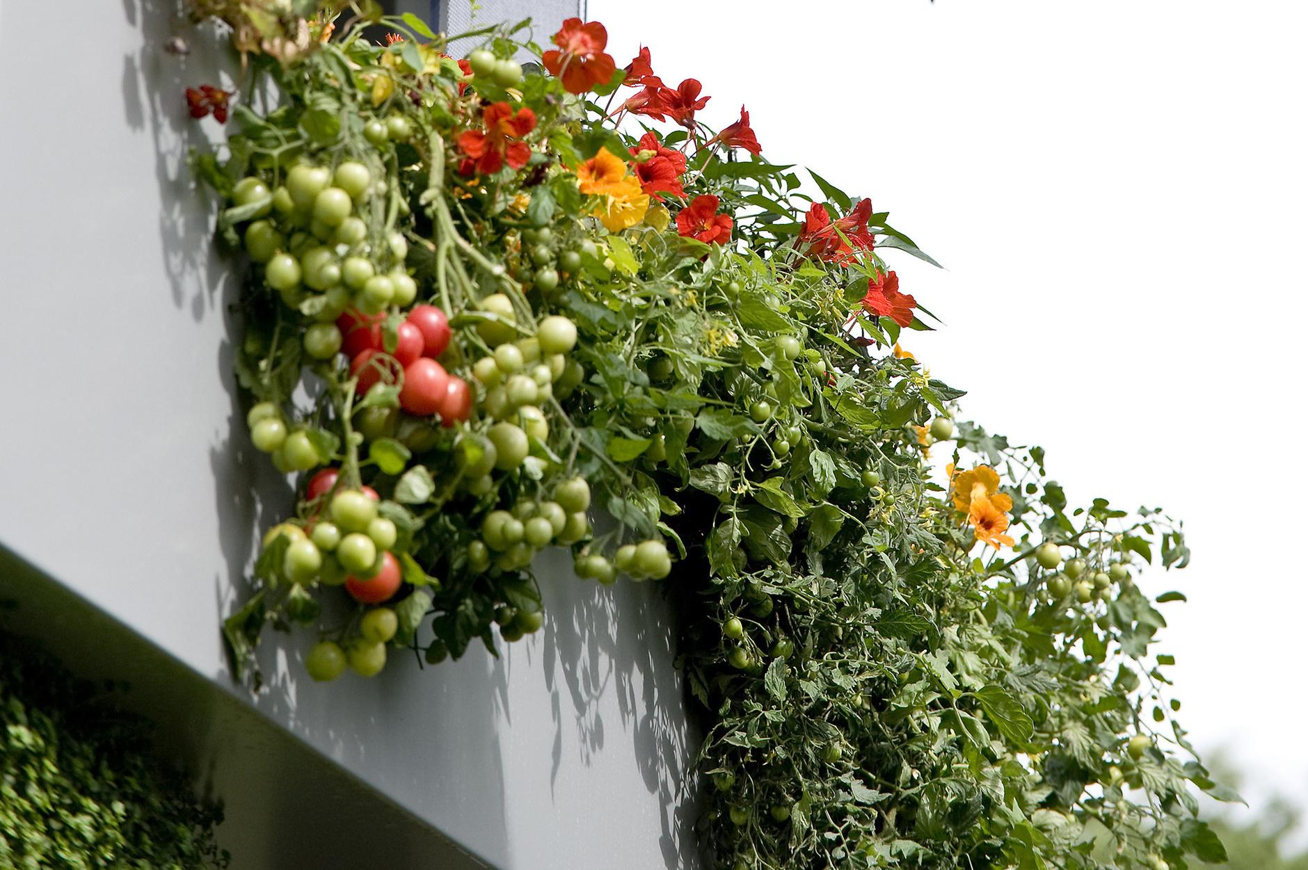 как сажать семена помидор на балконе