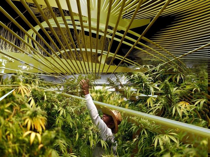 Ферма по выращиванию медицинской марихуаны в Каталонии (фото 7)