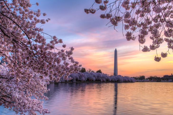 Цветущие вишни в Вашингтоне