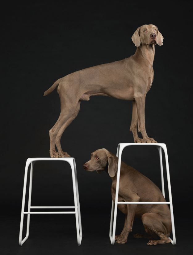 Фотопроект William Wegman | галерея [1] фото [6]