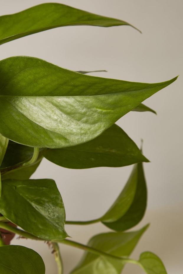 Висячие сады: 10 неприхотливых подвесных растений (фото 9)