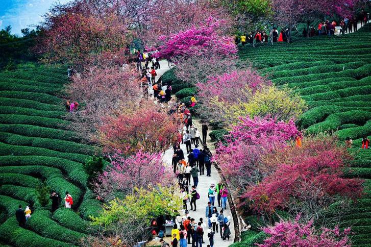 Цветение вишни в Китае: уникальные кадры (фото 1)